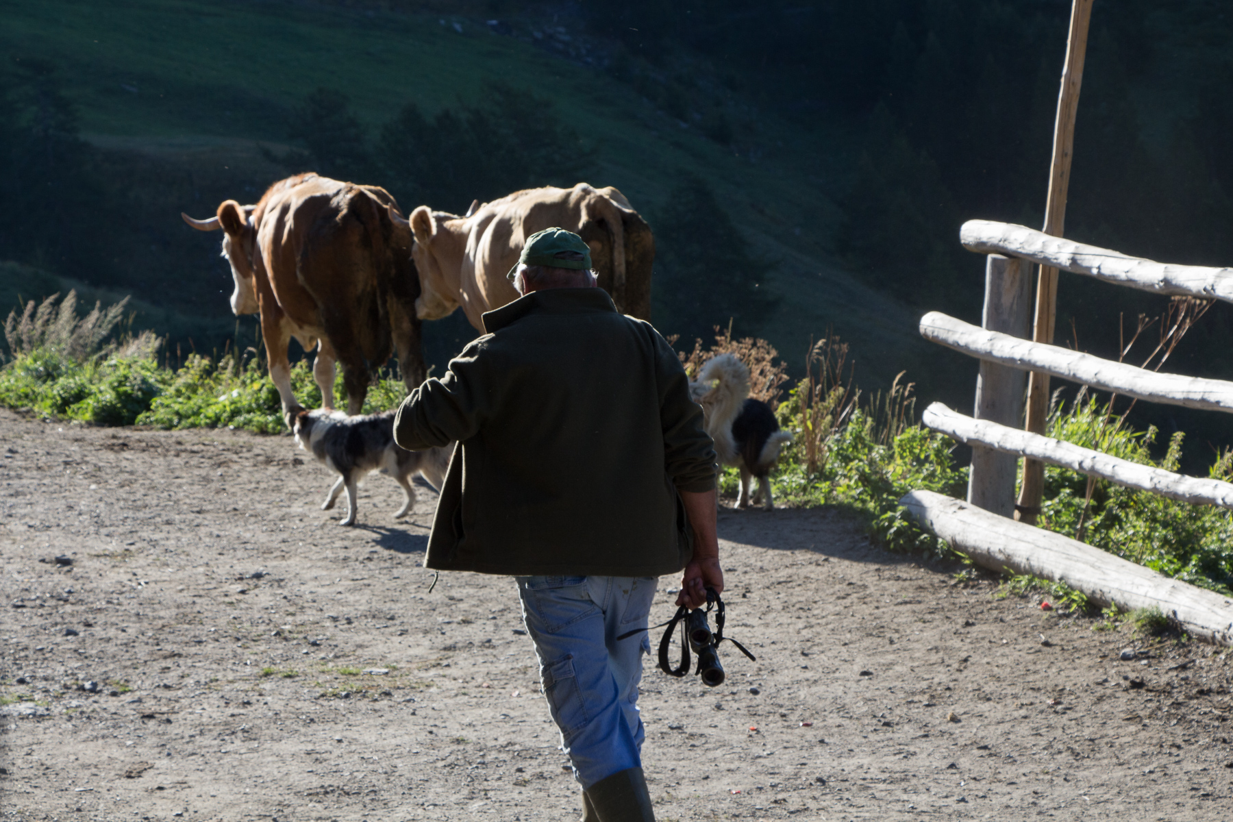 Going out with the cattle, Valle Argentera, 2018